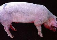 豬偽狂犬病的防治