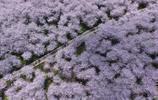 別去日本了!全球最大的櫻花基地:就在中國的這座小城中