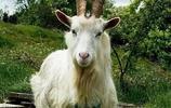 動物圖集:山羊