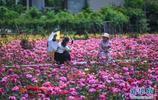 杭州市新峰村村民建成鄉村玫瑰園 發展鄉村旅遊帶動村民致富