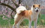 地球上10大最忠誠的狗狗,中華田園犬居榜首,你養了哪一種?