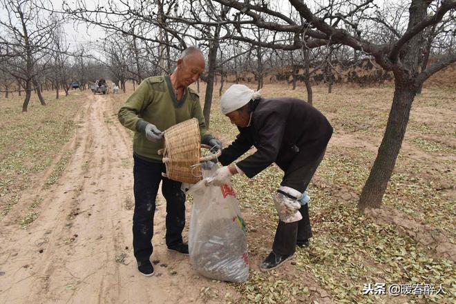 為了撿3毛錢一斤的落棗,農村老人忙成這樣子,為了啥