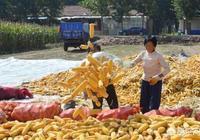 近期東北玉米價格下降,出售速度緩慢是什麼原因?未來東北玉米價格會漲嗎?