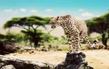 動物圖集:短跑高手獵豹