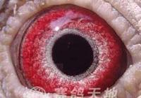 鴿子的眼皮顏色