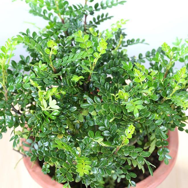 搬了新家客廳建議養這盆栽,花不了幾個錢,滿屋清新,淨化空氣