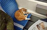 虎斑貓在電車上睡太熟不忍叫醒,很有家教模樣讓人又憐又愛啊