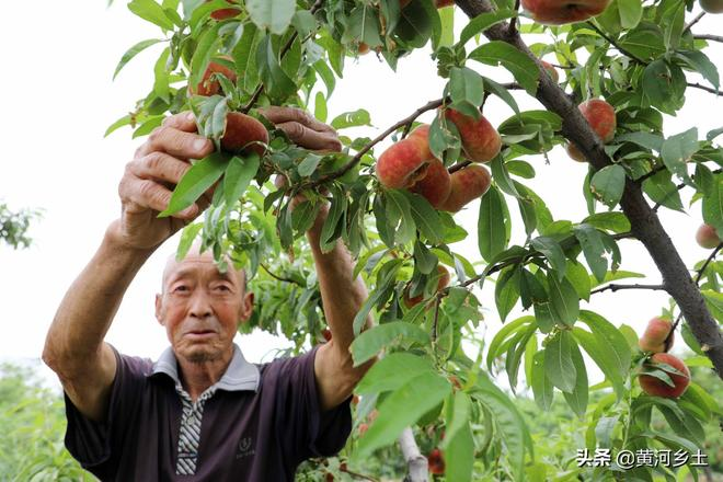 山西農村80歲大爺家裡蟠桃熟了,喊遊客到地裡免費採摘,看咋回事