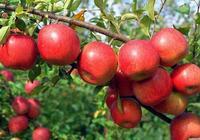 需要大改形的蘋果園有5類!看看你家果園需要改嗎
