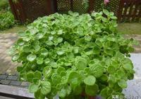 園藝常用花草碰碰香的種植方法,注意這4點在家也能種植!