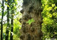 刺楸是什麼植物?有野生的嗎?