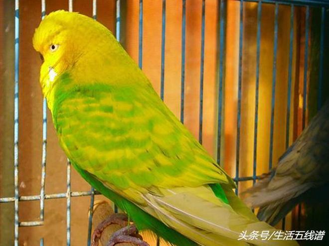 虎皮鸚鵡的20個品類,你知道嗎?網友:這鳥會72變?