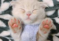 折耳貓學人站立樣子超萌!但你知道可愛背後用多大的痛苦換來的嗎