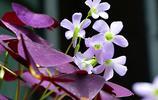 三翅紫蝶託粉花——紫葉酢漿草