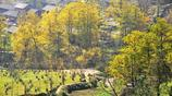 貴州大山深處發現一處千年古村落 村裡多棵千年古銀杏世界罕見