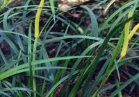 這一野草,花果期達半年,馥香濃郁,盆栽在家泡水就活,懶人最愛