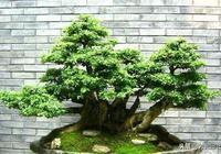 微型榕樹盆景的無土栽培