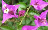 風景圖集:鮮豔的三角梅風景