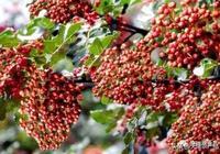 農村馬糞堆上的樹芽,曾是貴族專享貢品,如今賣高價成上等野菜