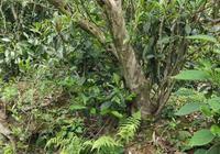 如何從茶葉判斷茶樹樹齡?