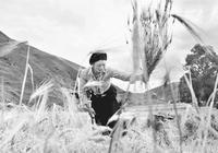 四川甘孜:青稞收割季