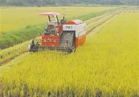 海口美蘭區收穫1.6萬畝水稻 水稻喜獲豐收