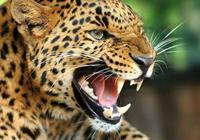 雄性美洲豹能否打贏雌性老虎和獅子?