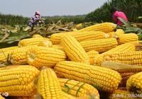 玉米的營養價值 挑選玉米的方法