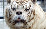 得了唐氏綜合症的老虎