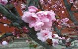 花卉圖集:榆葉梅