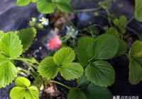 通過施肥可以控制草莓的產量和品質?試驗結果告訴你