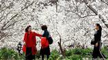 十里春風不如去甘肅這個地方看櫻花 萬千櫻花盛開似是仙境