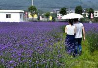 旅遊過薰衣草莊園,但您確定看到的都是薰衣草嗎?