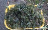 大家吃過這種長在地上的木耳嗎?這種野菜很珍貴一般人都沒有吃過