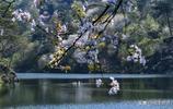 武大賞櫻總有事,來清涼寨,去看日本櫻花的老祖先