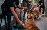 女老闆因養了12只柯基犬在咖啡館,而爆紅網絡,遊客紛紛前來!