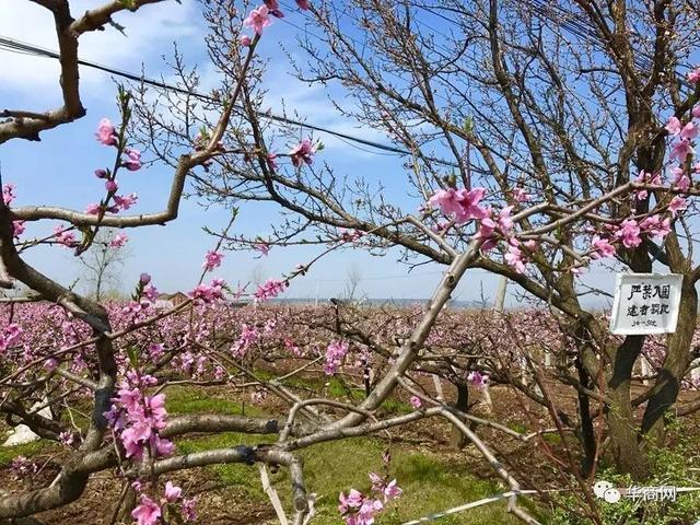 西安周邊竟有萬畝桃花林 小長假賞桃花就去這裡