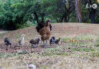 童子雞和老母雞,到底哪個更營養?