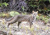 塘朗山上發現豹貓 豹貓是貓嗎是幾級保護動物