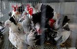 全國十多個省市的雞都是她飼養的!江蘇大學生畢業養雞發家致富