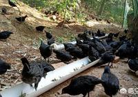 回到農村養雞是不是給自己挖了一個坑?