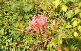 在農村發現這一朵像寶蓮燈的花叫什麼