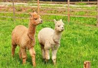 美國最有意思的羊駝農場