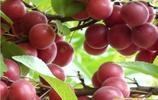 市場上很難見到的6種水果苗,在家種一顆,當年結果壓滿枝