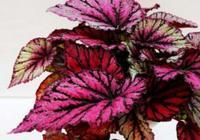 蟆葉秋海棠:葉形優美的蟆葉秋海棠,這樣管理葉色絢麗
