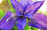 花卉圖集:鳶尾