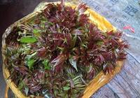 香椿種植前景怎麼樣?香椿經濟效益如何?香椿有哪些營養價值?