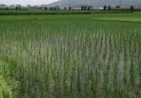 農民在稻田裡放了這件東西,收入比稻子還高,銷售容易,供不應求