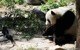 """北京:烏鴉與大熊貓""""叫囂"""",大熊貓竟被嚇跑"""