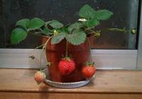 有一種草莓叫盆栽草莓,你知道是怎麼種植的嗎?